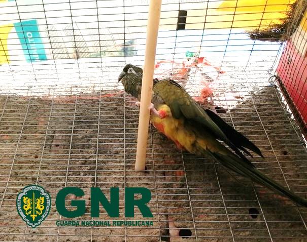 Papagaio-da-Patagónia sem documentação