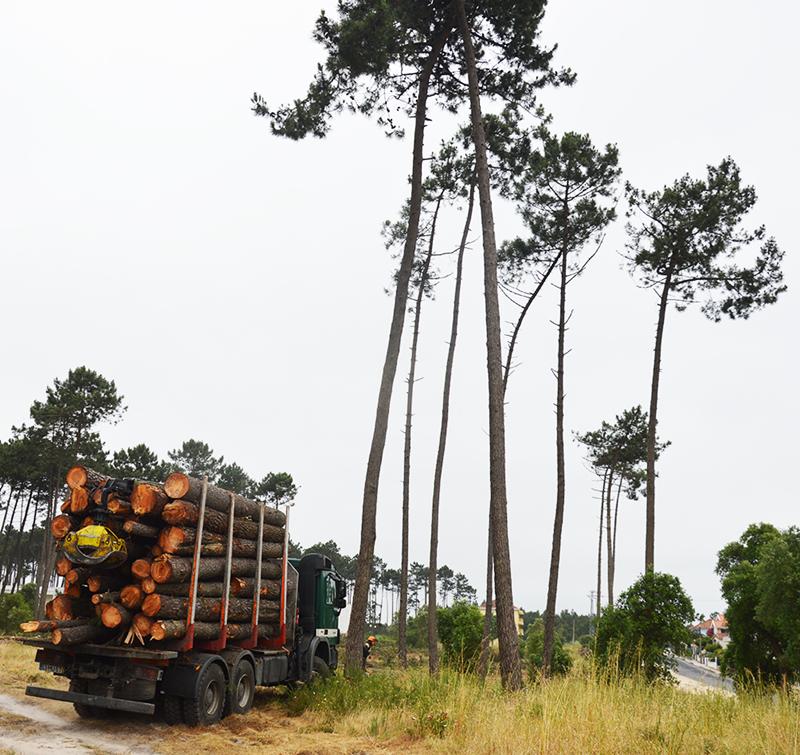 Corte de árvores no Pinhal de Santo Isidoro
