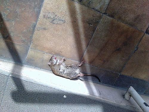 O rato acabou por ser morto